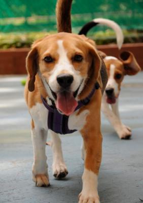 happy beagle dane 4 dogs